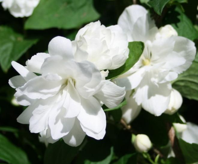 чубушник виргинский