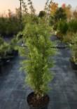 Можжевельник Обыкновенный 1.2-1.4 м с7.5