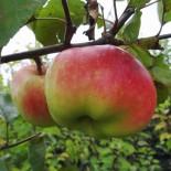 """Яблоня плодовая трехлетка """"Богатырь"""" с7.5"""