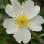 Роза бедренцеволистная белая