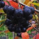 Арония (Рябина черноплодная) 0.6-0.9 м с3.5