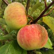 Яблоня плодовая «Коричное полосатое»