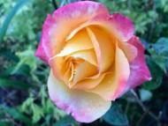Роза чайно-гибридная «Мильва»