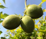 Орех Серый 100-150см с7