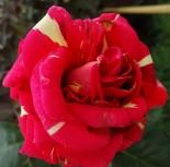 "Роза флорибунда ""Пурпурный тигр"""