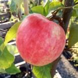 """Яблоня плодовая четырехлетка """"Услада"""" с7"""