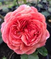 Роза шраб «Чиппенддейл»