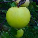 """Яблоня плодовая четырехлетка """"Мартовское"""""""