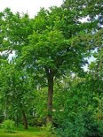 Орех Серый 80-100 см