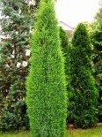 Можжевельник Обыкновенный 50-60 см