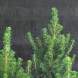 Ель Глаука или канадская 45-70 см