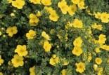 Лапчатка кустарниковая \'Fredhem\' или Курильский чай 55-65cм/45-70см
