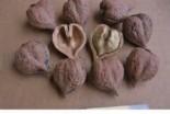 Орех Сердцевидный