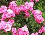 """Роза флорибунда """"Белла роза"""""""