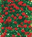 "Роза плетистая ""Сантана"""