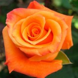 "Роза чайно-гибридная ""Вуду"""