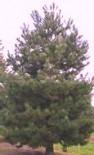 Сосна чёрная 1.05-1.1 м