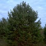Сосна обыкновенная 1.1-1.3 м с5