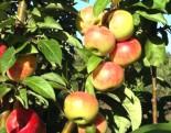 """Яблоня плодовая колоновидная двухлетка """"Каскад"""""""