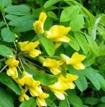 Карагана древовидная или Жёлтая ака́ция (Caragána arborésce) с5