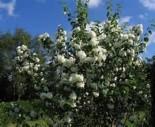 Чубушник Виргинский 40-60 см