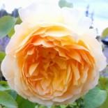 "Роза (парковая) шраб ""Молинью"""