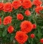 "Роза мини ""Оранж джувел"""