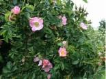Роза собачья (Шиповник) 0.6-0.8 м с3