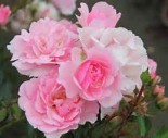 "Роза флорибунда ""Боника 82"""