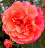 """Роза чайно-гибридная """"Ти тайм"""""""
