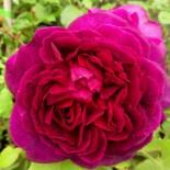 "Роза (парковая) шраб ""Дарси Бассел"""