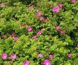 Роза ругоза 80-90 см