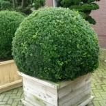 Самшит вечнозелёный