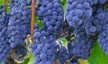 """Виноград плодовый """"Изабелла"""""""