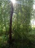 Ива серебристая р9, 20-30 см