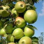 """Яблоня плодовая колоновидная двухлетка """"Медок"""""""