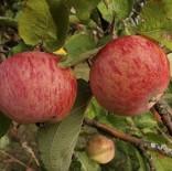 """Яблоня плодовая трехлетка """"Орловское полосатое"""""""