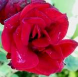 """Роза почвопокровная (шраб) """"СентРо роуз"""""""
