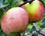 Яблоня плодовая однолетка