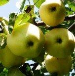 """Яблоня плодовая трехлетка """"Белый налив"""""""