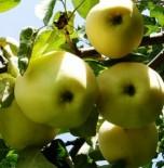 """Яблоня плодовая четырехлетка """"Белый налив"""""""