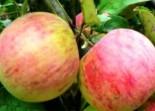 "Яблоня плодовая трехлетка ""Штрифель"""