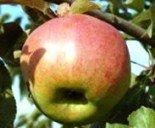 """Яблоня плодовая трехлетка """"Жигулевское"""""""
