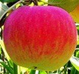 Яблоня плодовая двухлетка
