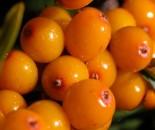 Облепиха женская сортовая 10-25 см р9