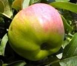 "Яблоня плодовая трехлетка ""Богатырь"""