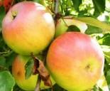 """Яблоня плодовая четырехлетка """"Имрус"""""""
