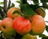 """Яблоня плодовая однолетка """"Коричное полосатое"""""""
