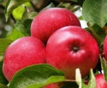 """Яблоня плодовая четырехлетка """"Лобо"""""""