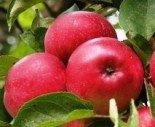 """Яблоня плодовая трехлетка """"Лобо"""""""
